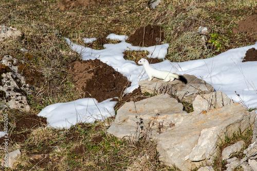 Fototapeta ermine (Mustela erminea) on a rock in its territory, with a white winter coat