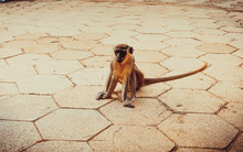 A Monkey Sits On The Floor In ...