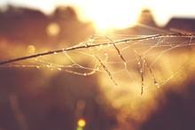 Wet Spider Web On Twig