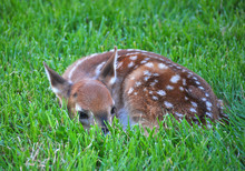 Spotted Deer Relaxing On Grass...