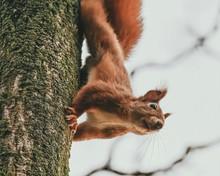 Neugieriges Eichhörnchen Kopf...