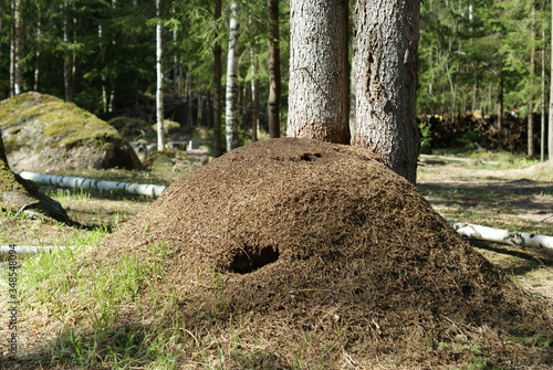 big anthill in pine forest Canvas Print