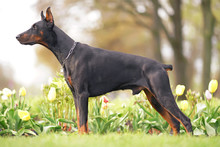 Black And Tan Doberman Dog Wit...