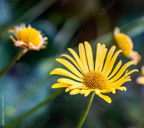 Stampa su Tela Doronicum orientale - sparkling yellow, daisy-like flowers in spring garden