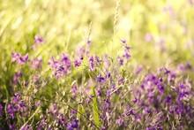 Purple Wildflowers Blooming On Field