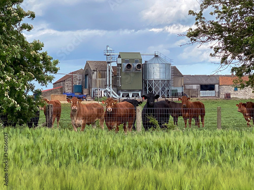 Farm buildings and cattle and a crop of barley - Yorkshire - United Kingdom Canvas