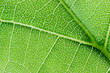 View of a leaf's veins of lime tree