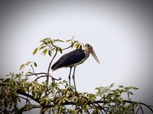 Low Angle View Of Greater Adjutant Perching On Tree Against Sky