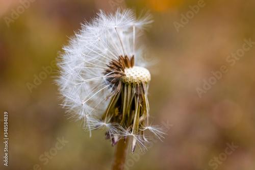 Mniszek lekarski, dmuchawiec kwitnie i przekwita wczesną wiosną. Masina mleczu rozdmuchiwane przez wiatr. - 348584839