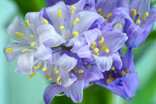 Close-up Of Bluebell Hyacinthoides Flowers
