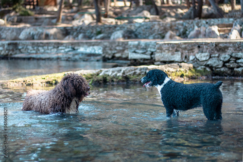 Two dogs having a stand off in water, looking at each other anticipating the nex Wallpaper Mural