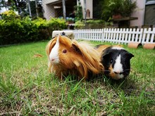 Close-up Of Guinea Pigs Sitting On Grassy Land
