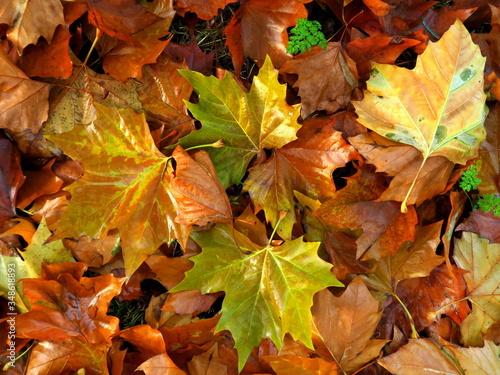 Obraz na plátně Close-up Of Fallen Maple Leaves