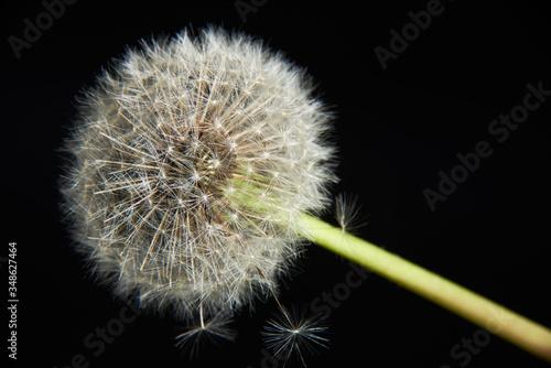 Nasiona dmuchawca na czarnym tle - 348627464