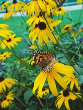 Close-up Of Butterfly On Blackeyed Susan