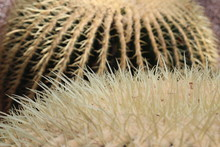 """Big """"Golden Barrel Cactus"""" (or Golden Ball, Mother In Laws Cushion) In St. Gallen, Switzerland. Its Scientific Name Is Echinocactus Grusonii, Native To East And Central Mexico."""
