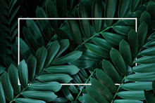 Dark Green Leaves Pattern Nature Frame Layout Of Cardboard Palm Or Cardboard Cycad (Zamia Furfuracea) Evergreen Plant Native To Mexico, Abstract Nature Green Background With White Frame.