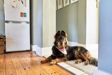 Portrait Cute Dog Laying In Ki...