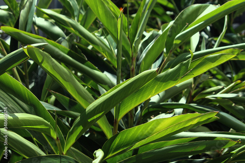 Large green leafy Light galangal foliage in a garden Canvas Print