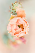 Peach Coloured Flower On A Prickly Pear Cactus