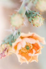 Blooming Peach Coloured Prickly Pear Cactus