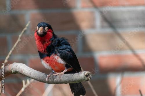 Photographie Senegal furrow beak in close-up