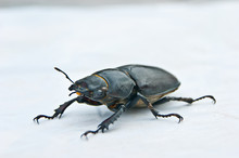 The Female Stag Beetle, The La...