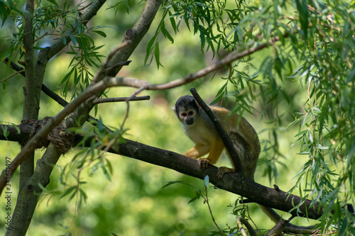 single squirrel monkey on a branch Wallpaper Mural