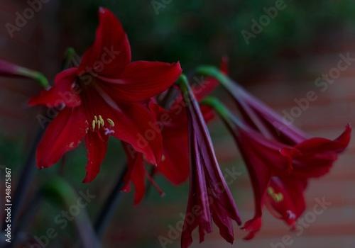 Red amaryllis flowers Canvas Print