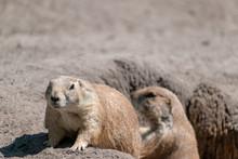 Prairie Dog In The Sand