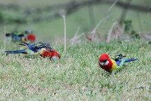 Crimson Rosella On Grassy Field