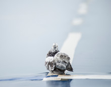 White-gray Dove On A Blue Whi...