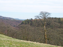 A Tall Winter Tree In Front Of Woodland With A View Of The Calder Valley In West Yorkshire With The Village Of Heptonstall In The Distance