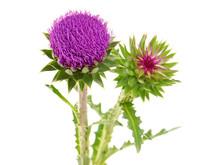 Purple Flower Head Of Milk Thistle, Carduus Nutans