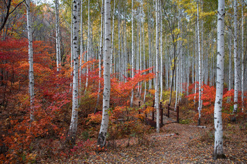 Fototapeta Brzoza Autumn in the forest
