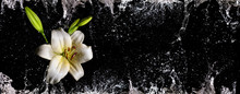 Narrow Banner With White Lily Flower And Dynamic Water Splashes And Drops Against Black Background
