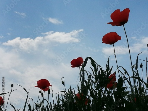 Fototapety, obrazy: Low Angle View Of Red Poppies Against Cloudy Sky