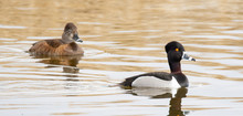 Male And Female Ring-necked Duck In Blue Water At Market Lake National Wildlife Management Area In Idaho