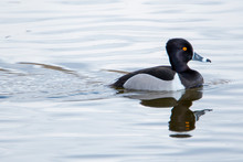 Male Ring-necked Duck In Blue Water At Market Lake National Wildlife Management Area In Idaho