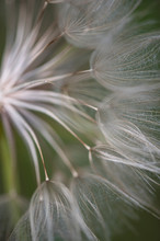 Close Up Of Goatsbeard Seed Heads