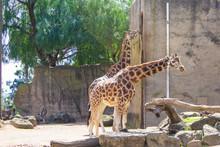 Giraffes Eating Leaves At The Melbourne Zoo, Australia