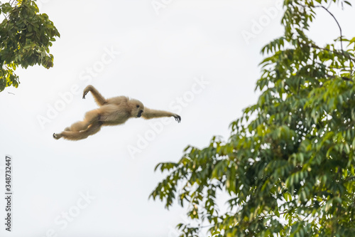 Picture of white gibbon is jumping in the forest, animal in the wild Wallpaper Mural