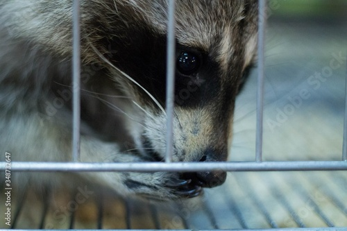Badger In Cage Canvas Print