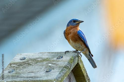 Eastern Bluebird Tablou Canvas