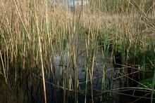 Reeds Growing In Swamp