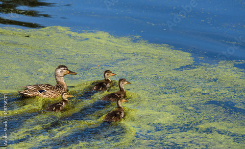 Female mallard duck with four duckling swimming in a calm lake on a sunny day Canvas Print