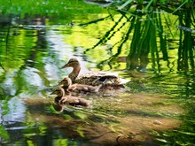Duck With Ducklings Swimming On Lake