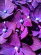 canvas print picture - Close-up Of Purple Hydrangea Flowers