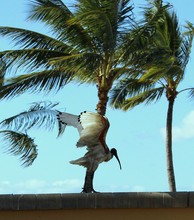 White Ibis Flying With Palm Tree In Background