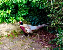 Close-up Of Pheasant Outdoors